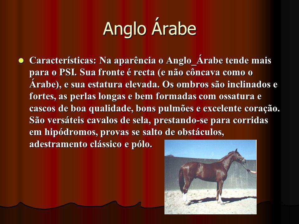 Anglo Árabe Características: Na aparência o Anglo_Árabe tende mais para o PSI. Sua fronte é recta (e não côncava como o Árabe), e sua estatura elevada