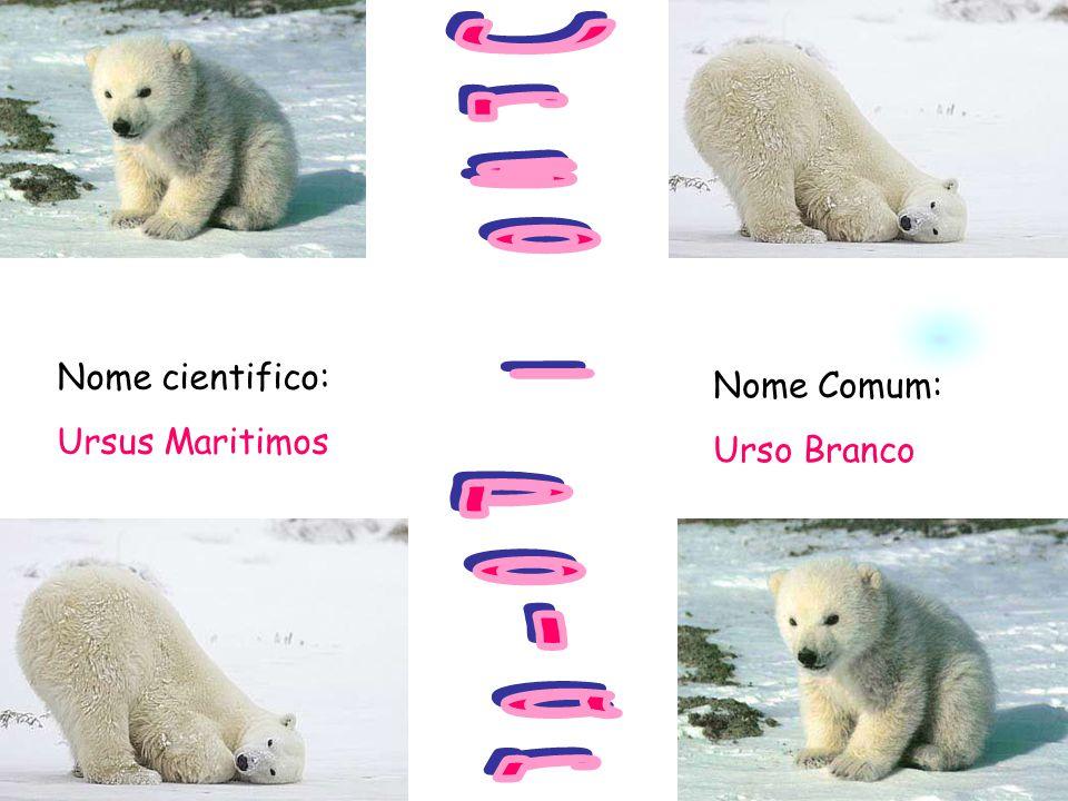 Nome cientifico: Ursus Maritimos Nome Comum: Urso Branco
