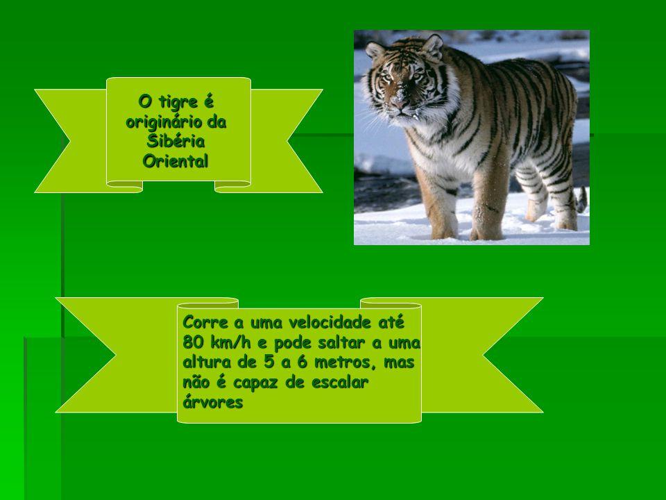 O tigre é originário da Sibéria Oriental Corre a uma velocidade até 80 km/h e pode saltar a uma altura de 5 a 6 metros, mas não é capaz de escalar árvores