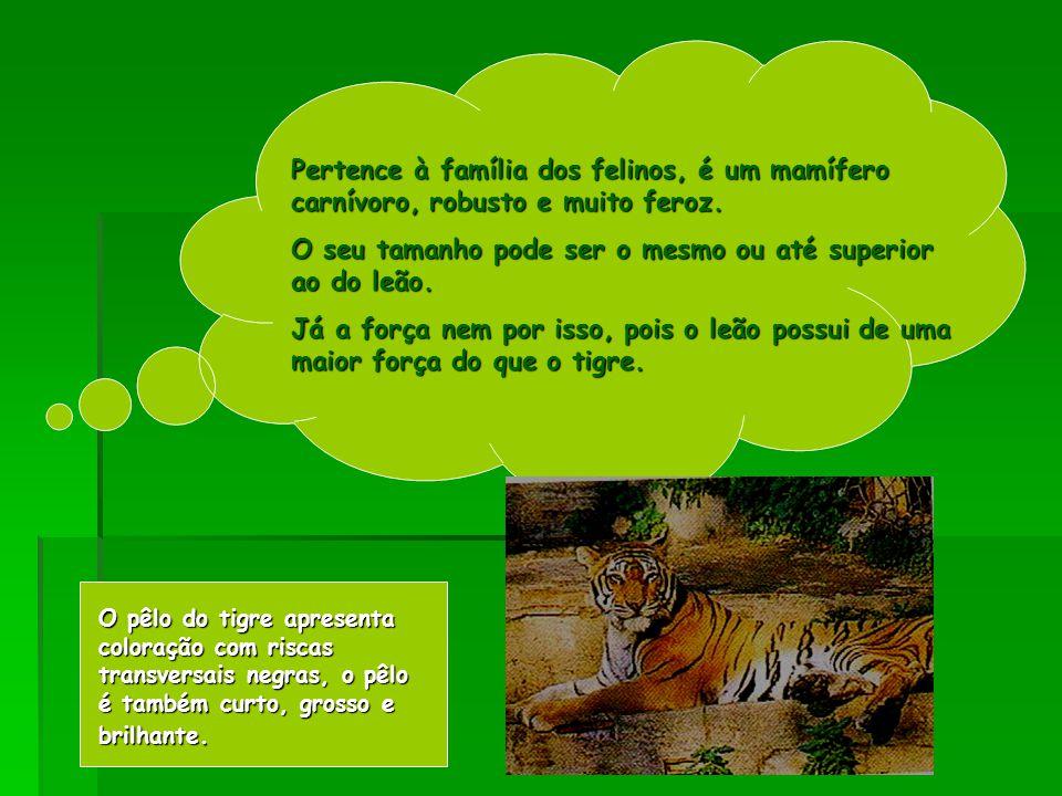 Pertence à família dos felinos, é um mamífero carnívoro, robusto e muito feroz.