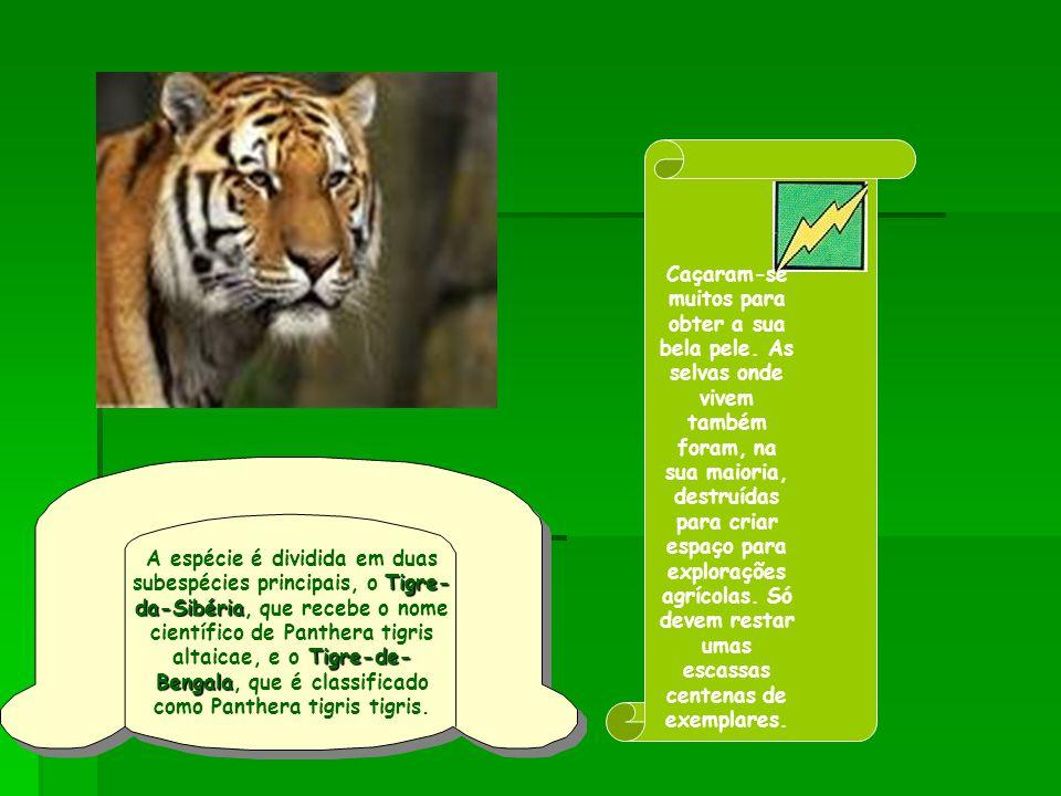 Tigre- da-Sibéria Tigre-de- Bengala A espécie é dividida em duas subespécies principais, o Tigre- da-Sibéria, que recebe o nome científico de Panthera tigris altaicae, e o Tigre-de- Bengala, que é classificado como Panthera tigris tigris.