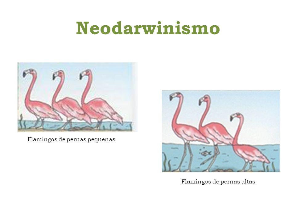 Neodarwinismo Flamingos de pernas pequenas Flamingos de pernas altas