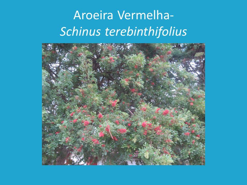 Aroeira Vermelha- Schinus terebinthifolius
