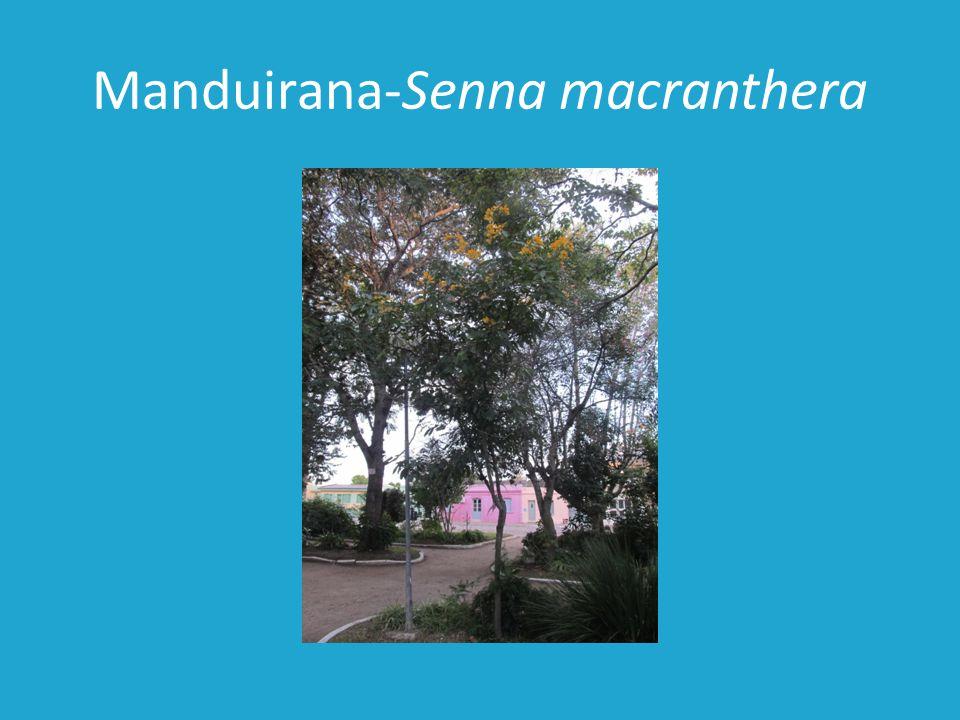 Manduirana-Senna macranthera