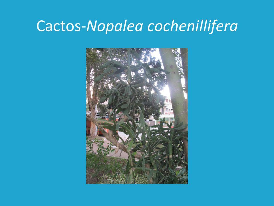 Cactos-Nopalea cochenillifera