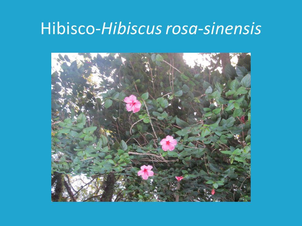 Hibisco-Hibiscus rosa-sinensis