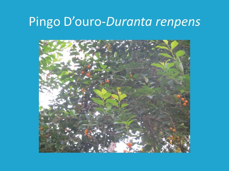 Pingo Douro-Duranta renpens