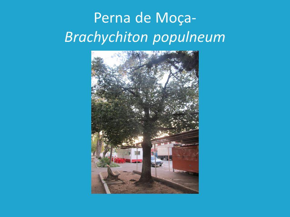 Perna de Moça- Brachychiton populneum