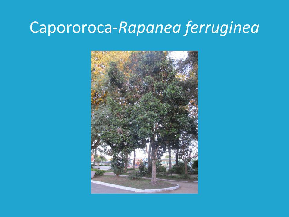 Capororoca-Rapanea ferruginea
