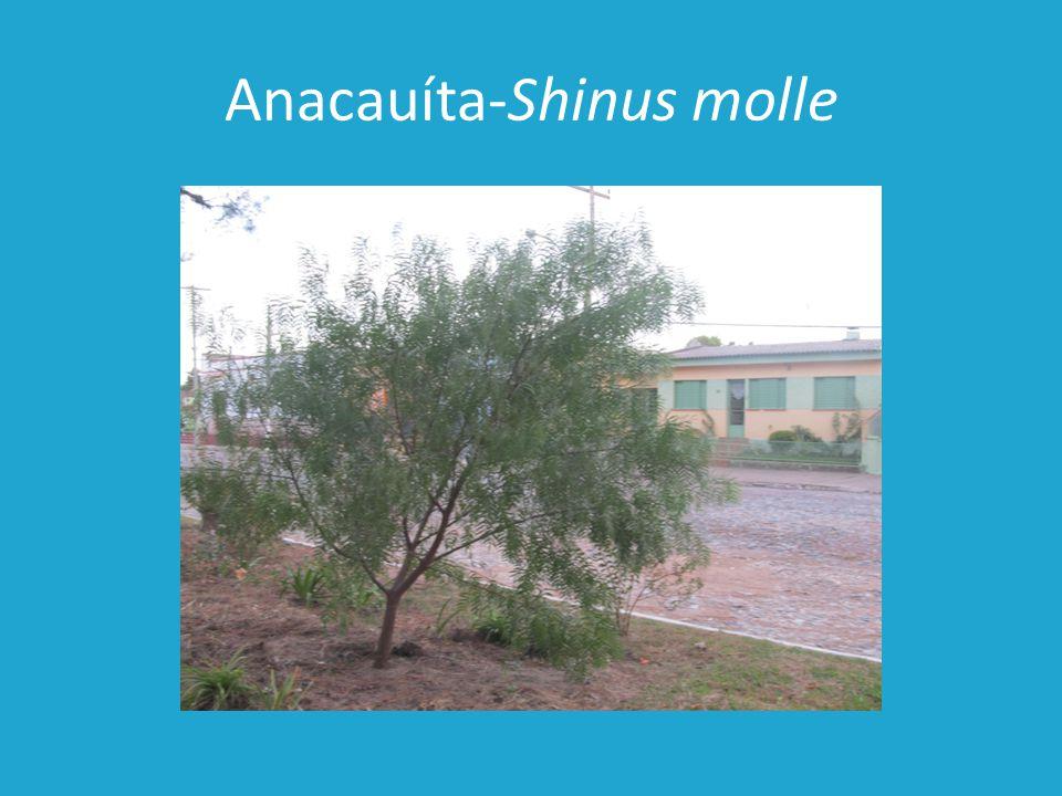Anacauíta-Shinus molle