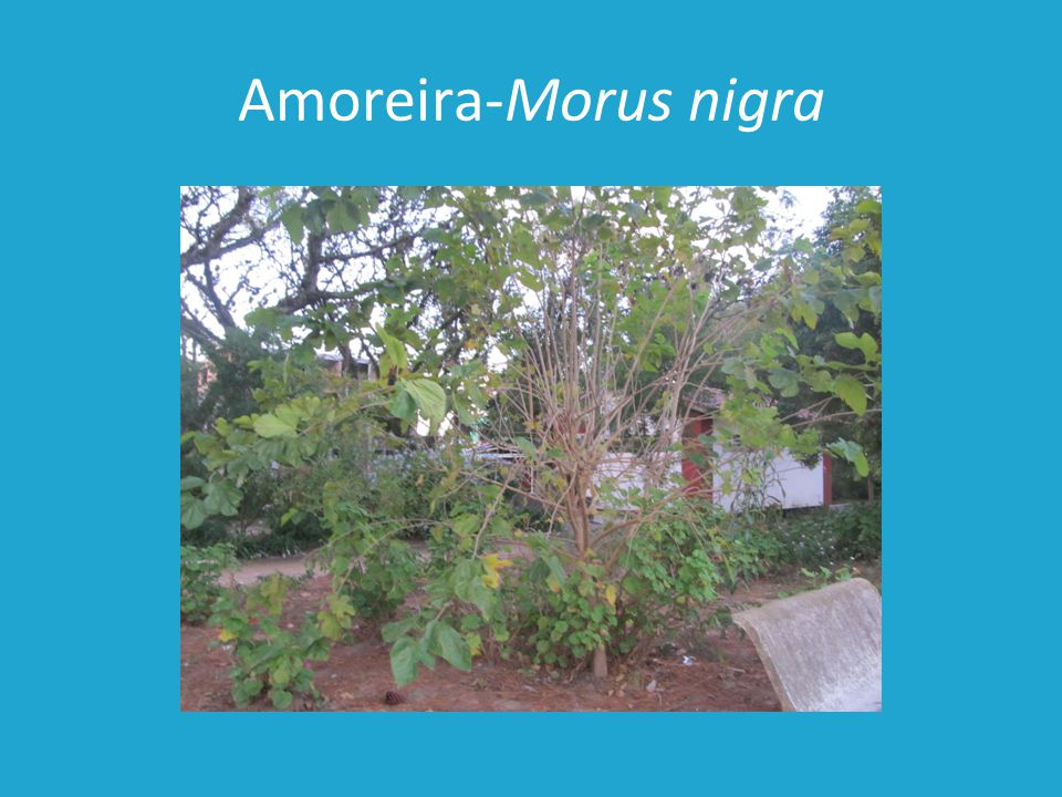 Amoreira-Morus nigra