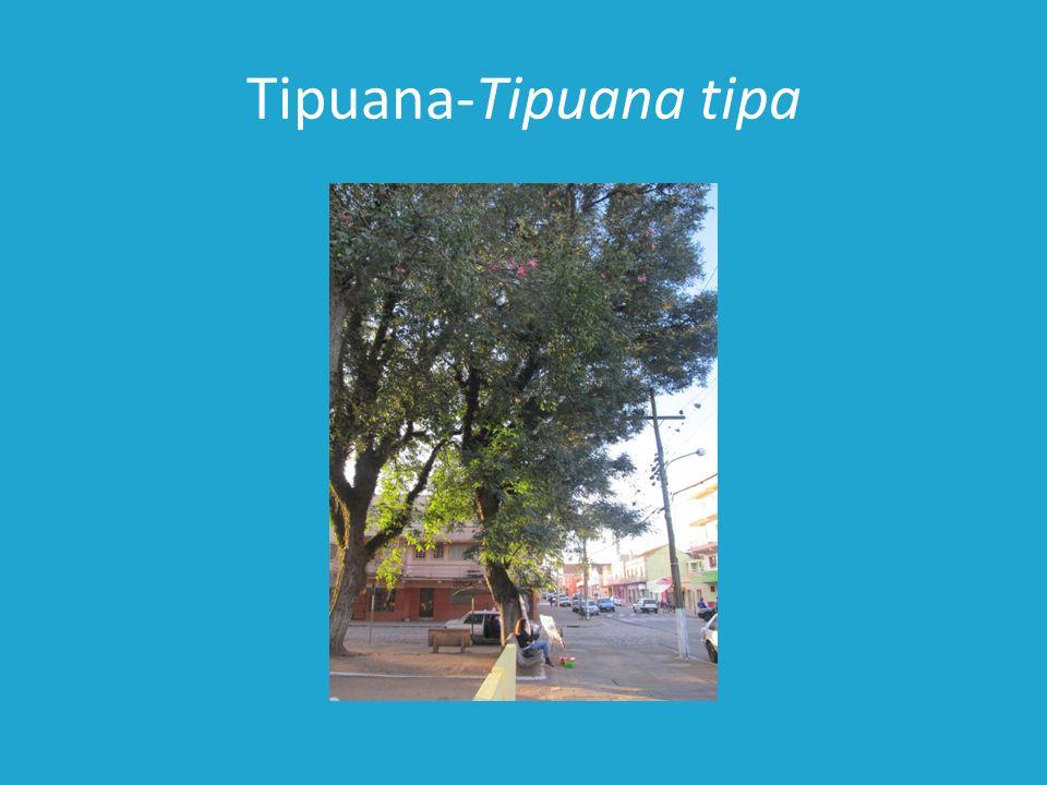 Jacarandá-Jacaranda mimosaefolia