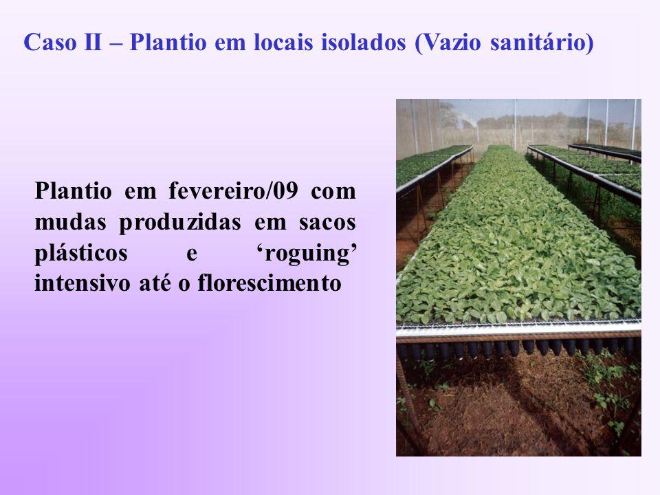Caso II – Plantio em locais isolados (Vazio sanitário) Plantio em fevereiro/09 com mudas produzidas em sacos plásticos e roguing intensivo até o florescimento