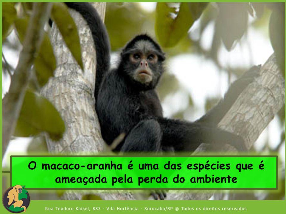 O macaco-aranha é uma das espécies que é ameaçada pela perda do ambiente