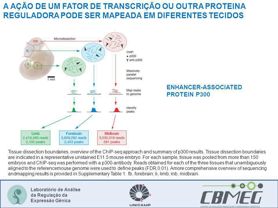 Laboratório de Análise da Regulação da Expressão Gênica Tissue dissection boundaries, overview of the ChIP-seq approach and summary of p300 results.