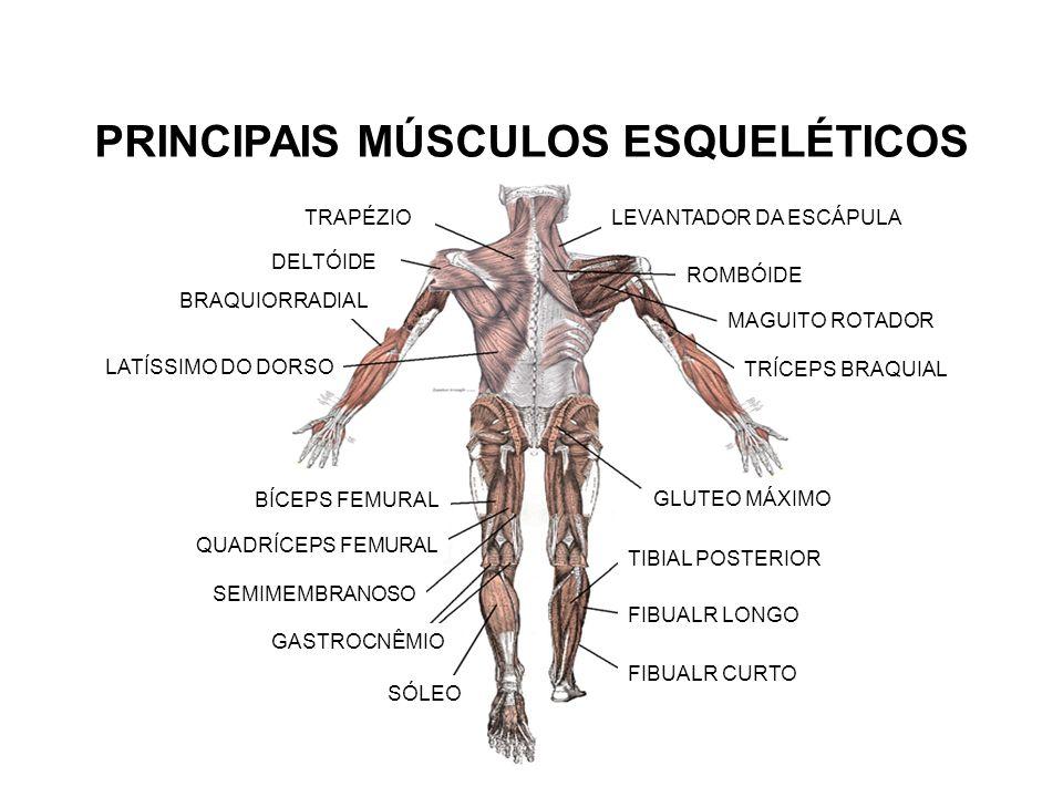 SISTEMA MUSCULAR Prof° Leandro Penitente. MÚSCULOS  O corpo humano ...