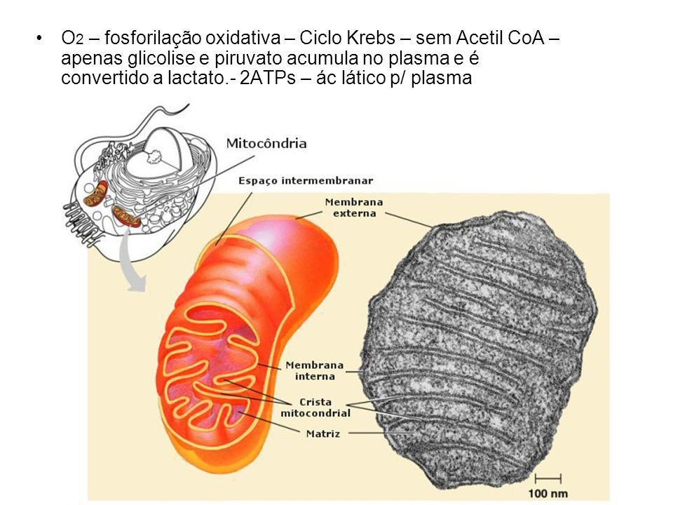 O 2 – fosforilação oxidativa – Ciclo Krebs – sem Acetil CoA – apenas glicolise e piruvato acumula no plasma e é convertido a lactato.- 2ATPs – ác lático p/ plasma