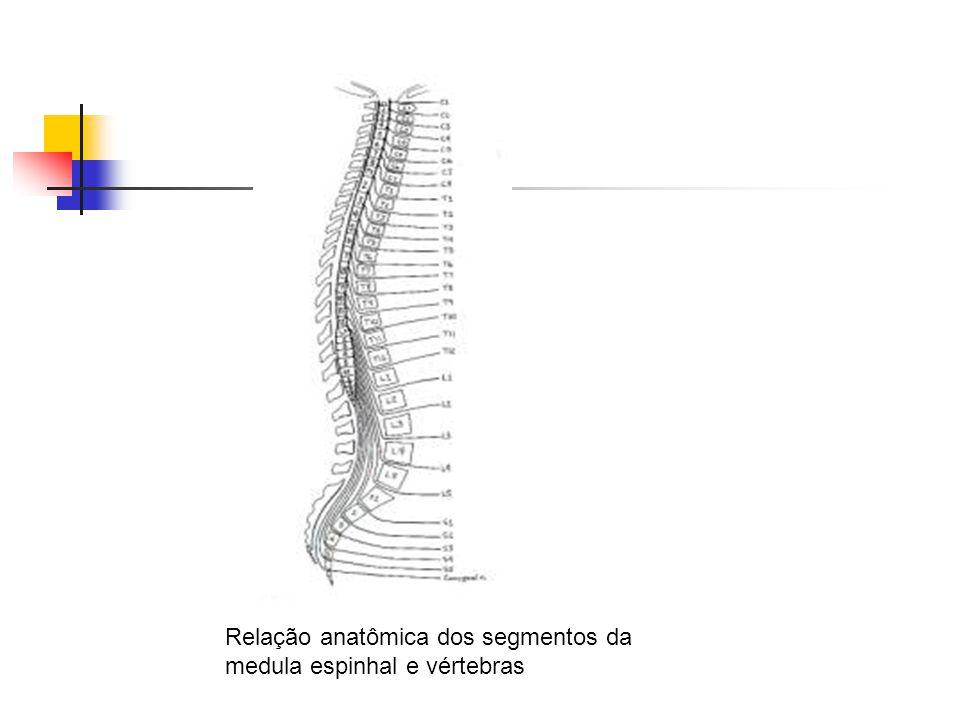 Relação anatômica dos segmentos da medula espinhal e vértebras