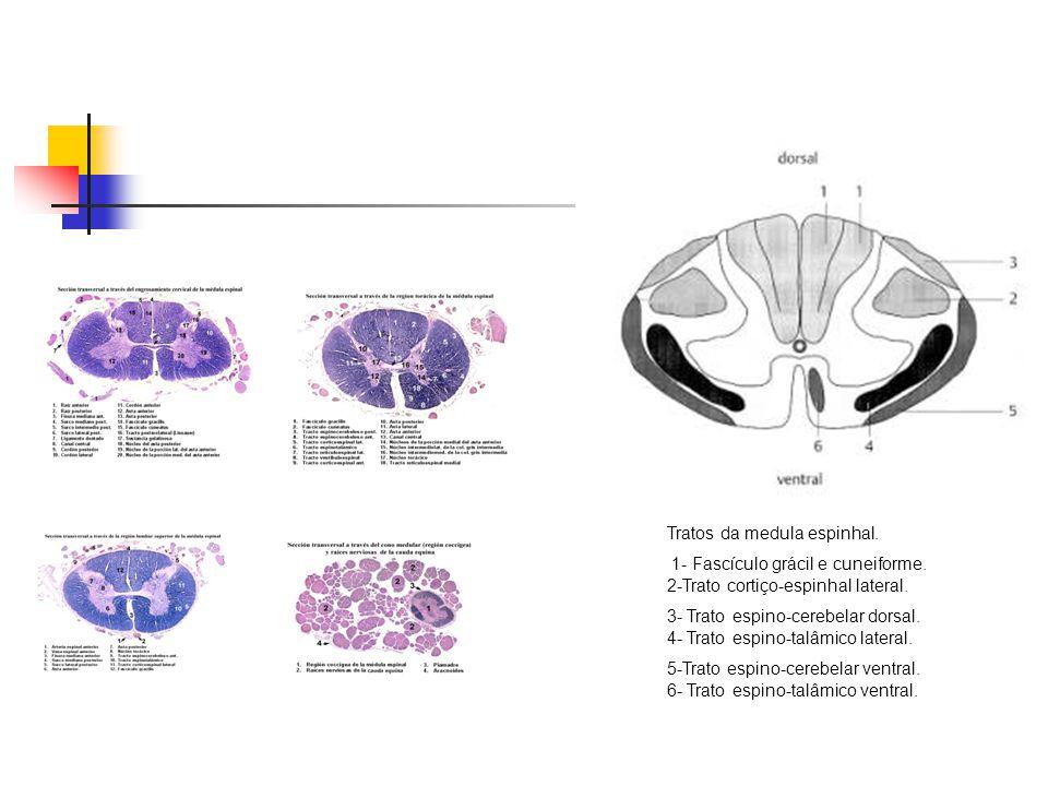 Tratos da medula espinhal. 1- Fascículo grácil e cuneiforme. 2-Trato cortiço-espinhal lateral. 3- Trato espino-cerebelar dorsal. 4- Trato espino-talâm