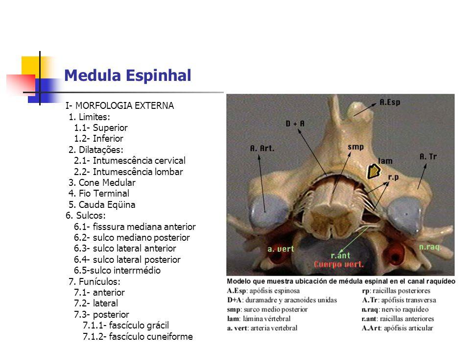 Medula Espinhal I- MORFOLOGIA EXTERNA 1. Limites: 1.1- Superior 1.2- Inferior 2. Dilatações: 2.1- Intumescência cervical 2.2- Intumescência lombar 3.