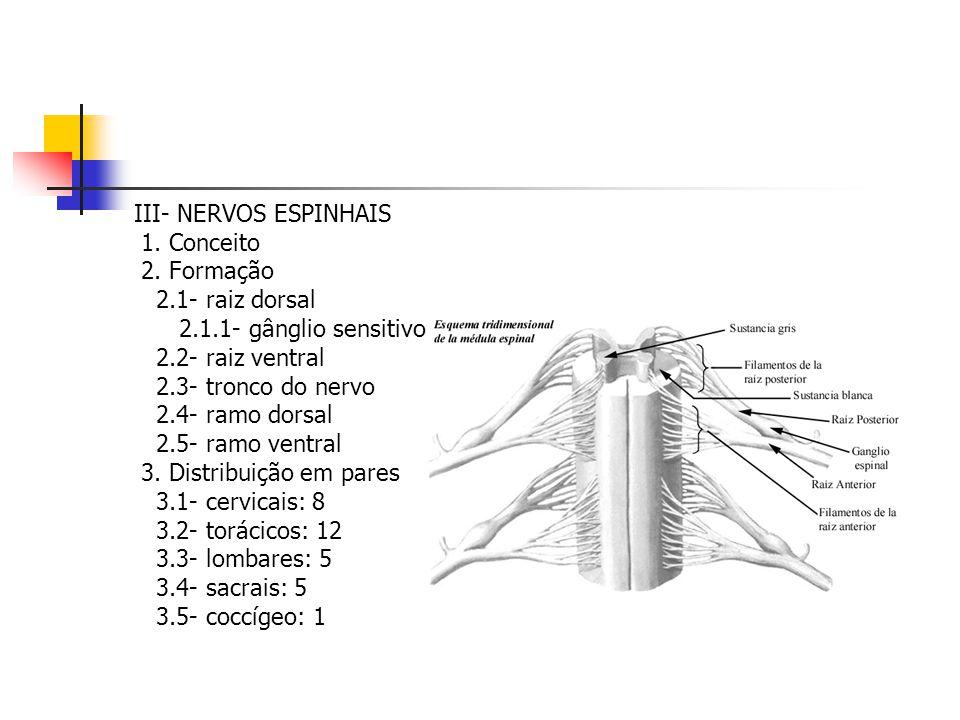 III- NERVOS ESPINHAIS 1. Conceito 2. Formação 2.1- raiz dorsal 2.1.1- gânglio sensitivo 2.2- raiz ventral 2.3- tronco do nervo 2.4- ramo dorsal 2.5- r