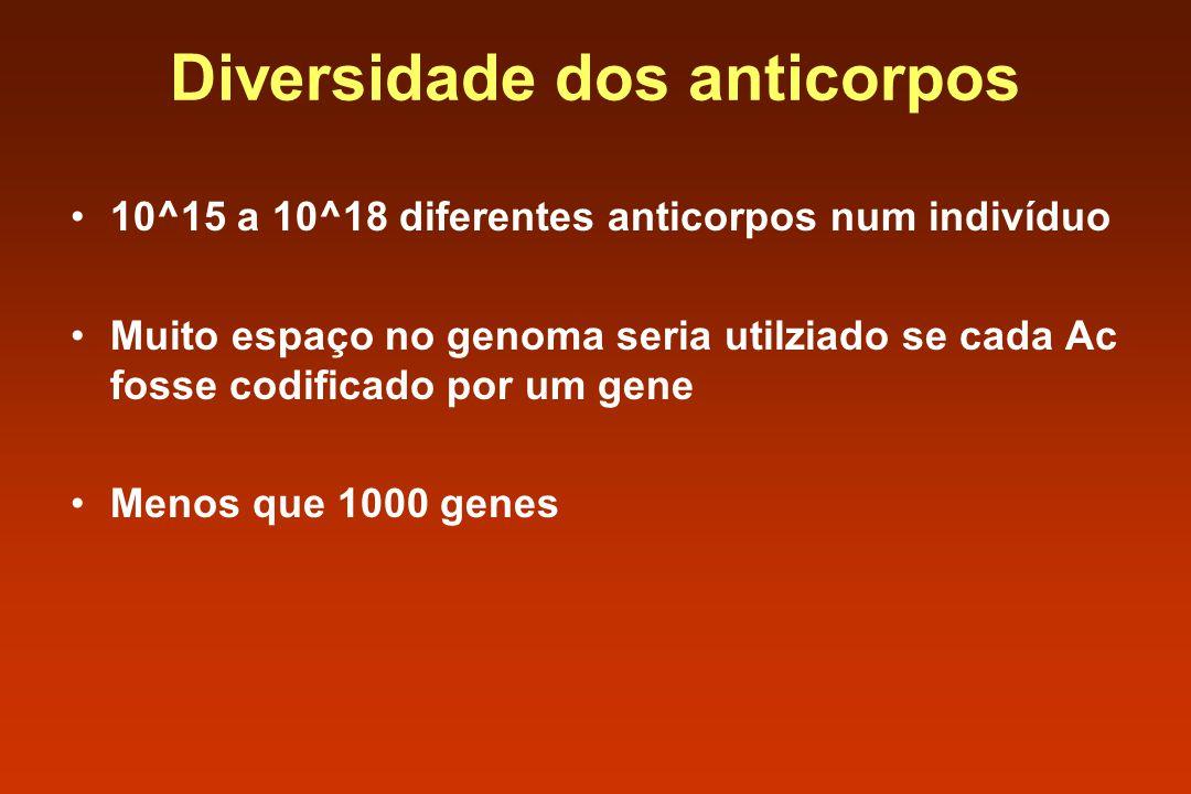 10^15 a 10^18 diferentes anticorpos num indivíduo Muito espaço no genoma seria utilziado se cada Ac fosse codificado por um gene Menos que 1000 genes