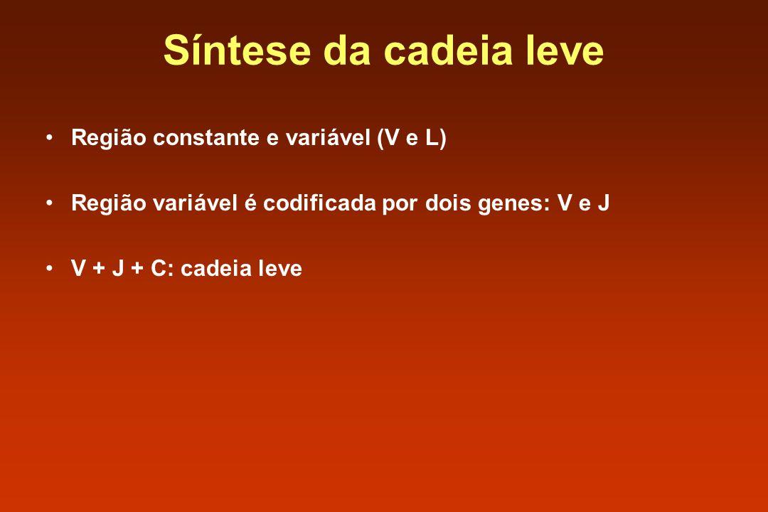 Síntese da cadeia leve Região constante e variável (V e L) Região variável é codificada por dois genes: V e J V + J + C: cadeia leve