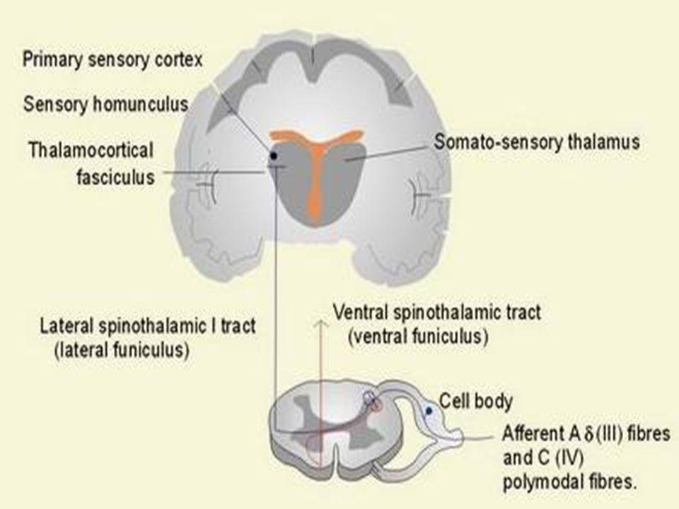 Neuralgia pós-herpética Infecção por HZV