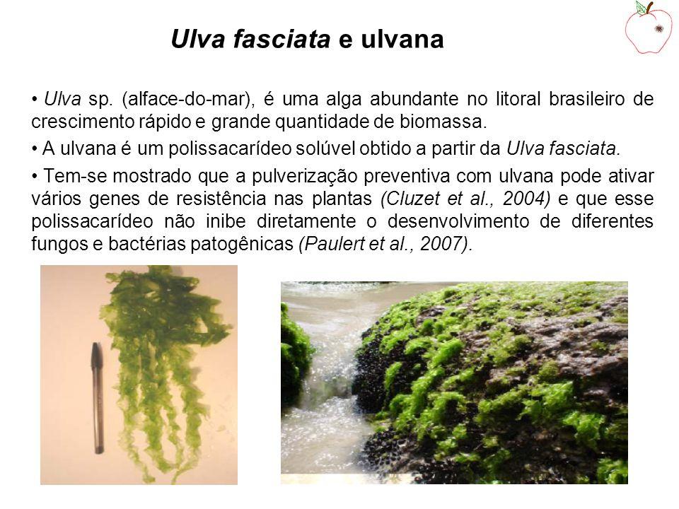 Ulva fasciata e ulvana Ulva sp.