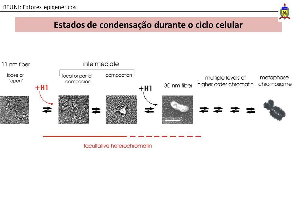 Estados de condensação durante o ciclo celular REUNI: Fatores epigenéticos