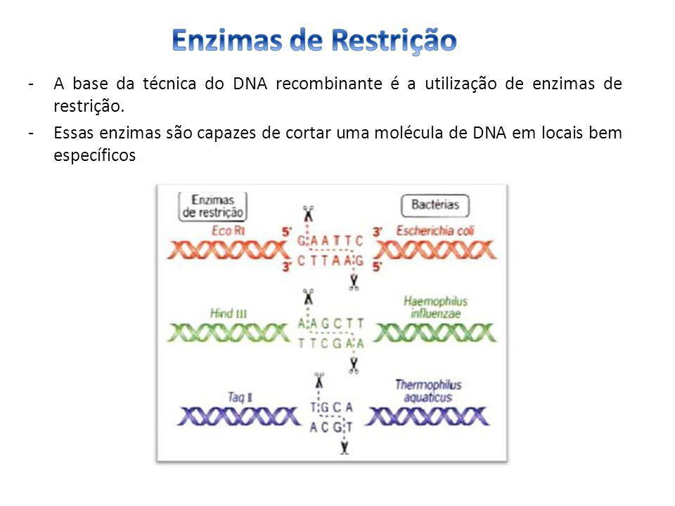 -A base da técnica do DNA recombinante é a utilização de enzimas de restrição. -Essas enzimas são capazes de cortar uma molécula de DNA em locais bem