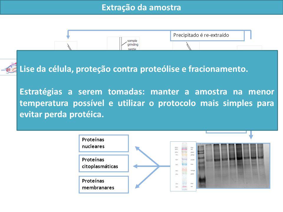 Extração da amostra Tampão de lise: 25 mM Tris HCl pH 7,2 10 mM CHAPS 0,5 M NaCl 5% glicerol (v/v) 1 mM PMSF Lise mecânica da célula Centrifugação 30 min a 12000 x g a 4º C Proteínas nucleares Proteínas citoplasmáticas Proteínas membranares Precipitado é re-extraído SN1+ SN2 Homogenato de ptns em gelo por 20 min Lise da célula, proteção contra proteólise e fracionamento.