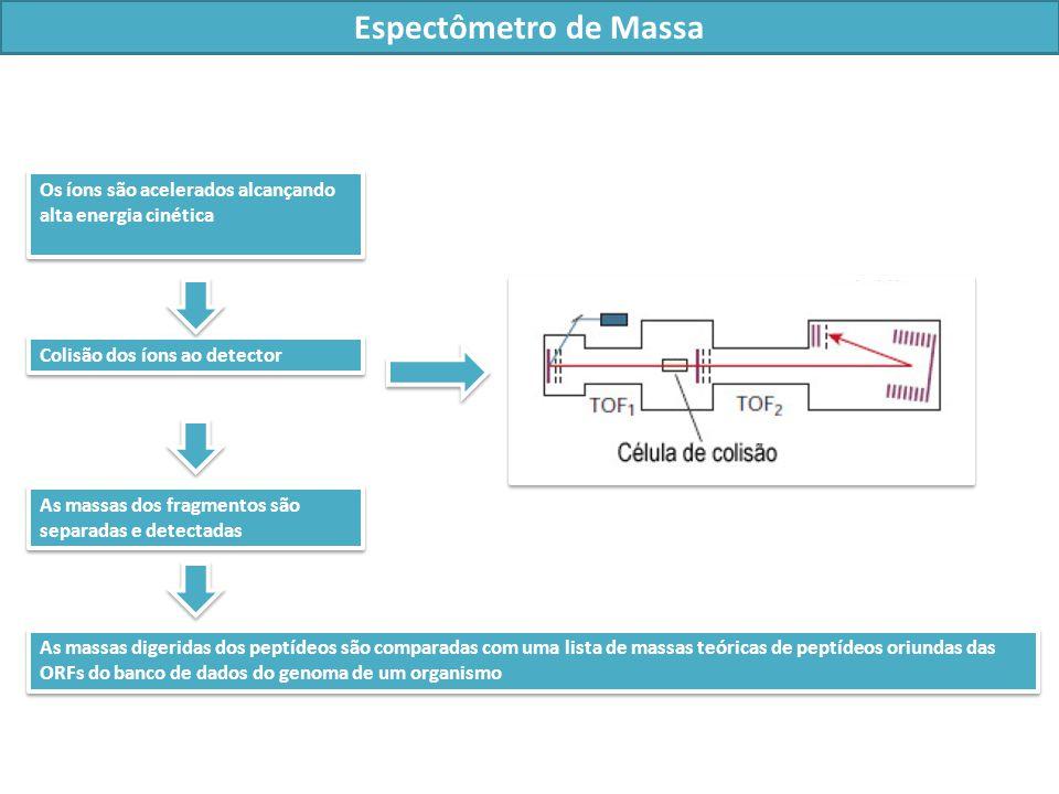 Os íons são acelerados alcançando alta energia cinética Colisão dos íons ao detector Espectômetro de Massa As massas dos fragmentos são separadas e detectadas As massas digeridas dos peptídeos são comparadas com uma lista de massas teóricas de peptídeos oriundas das ORFs do banco de dados do genoma de um organismo