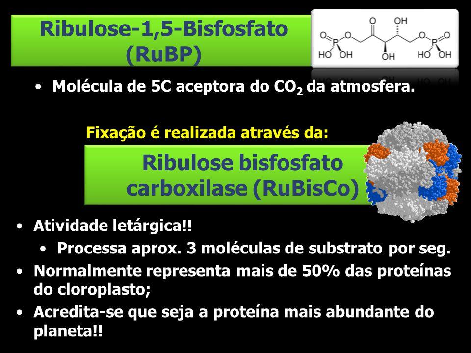 Ribulose-1,5-Bisfosfato (RuBP) Molécula de 5C aceptora do CO 2 da atmosfera. Ribulose bisfosfato carboxilase (RuBisCo) Atividade letárgica!! Processa