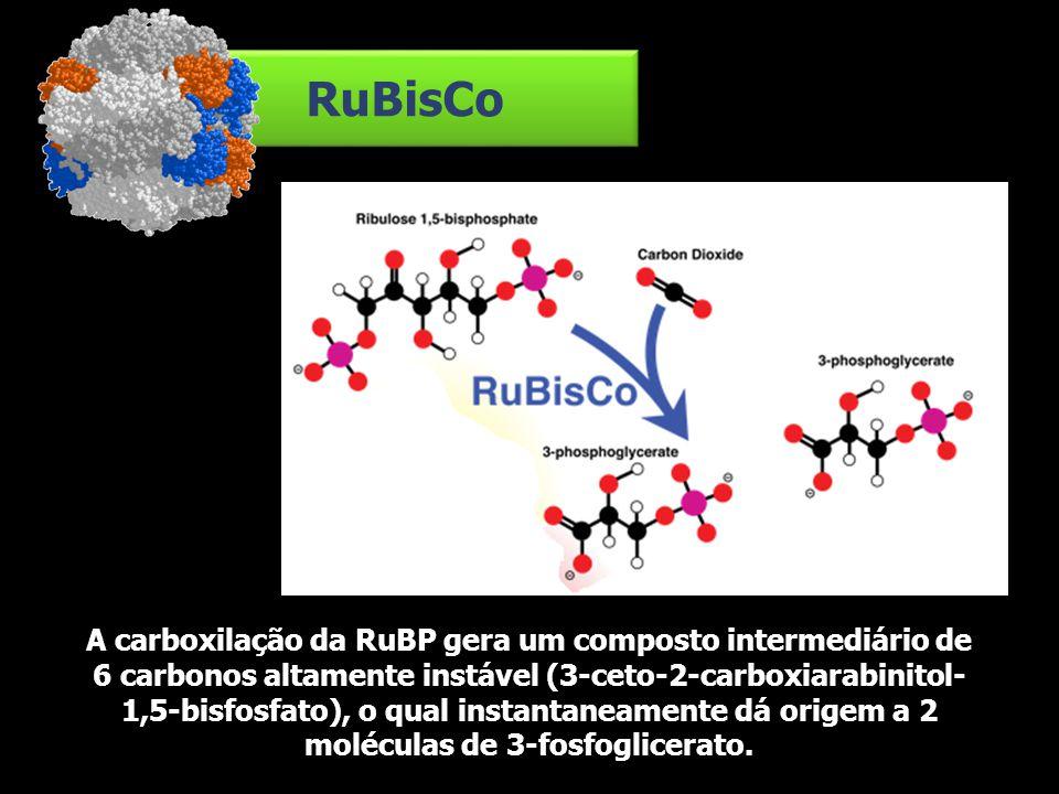 RuBisCo A carboxilação da RuBP gera um composto intermediário de 6 carbonos altamente instável (3-ceto-2-carboxiarabinitol- 1,5-bisfosfato), o qual in