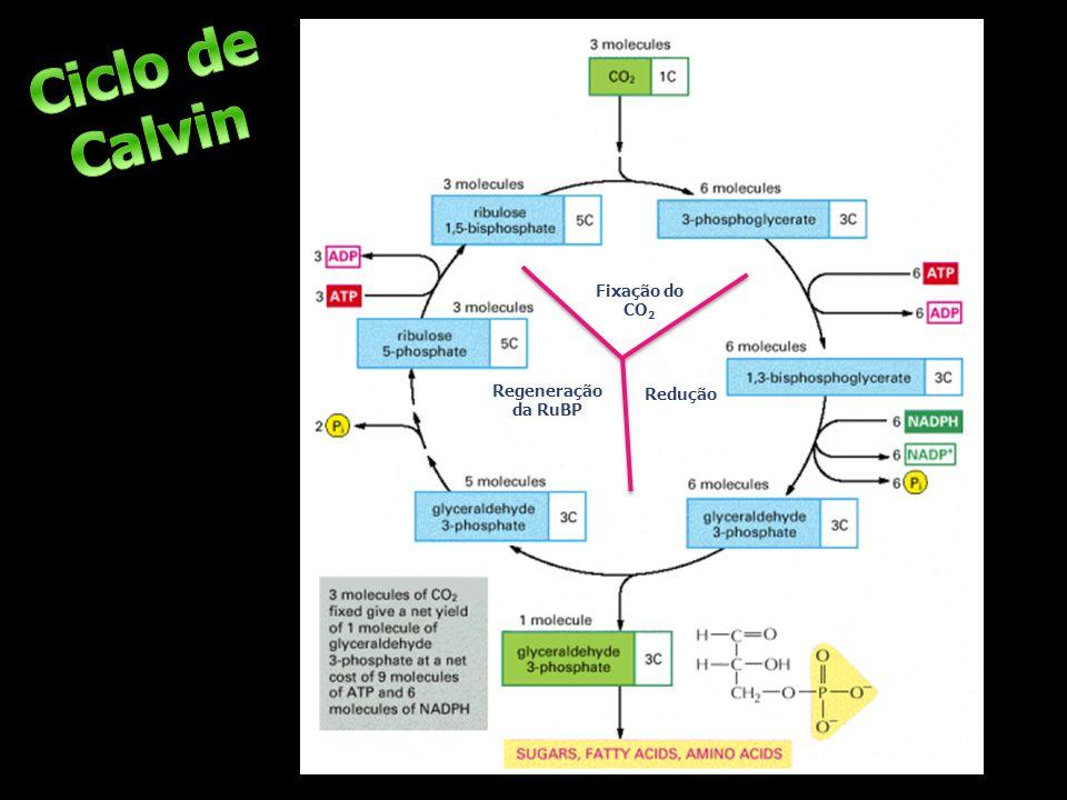 Regeneração da RuBP Fixação do CO 2 Redução