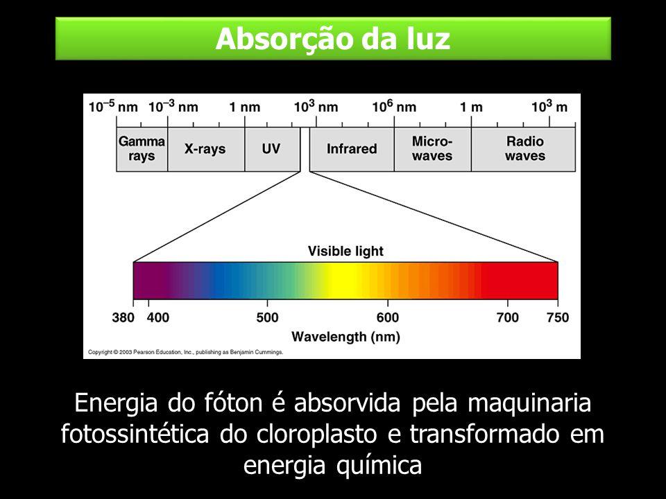 Absorção da luz Energia do fóton é absorvida pela maquinaria fotossintética do cloroplasto e transformado em energia química