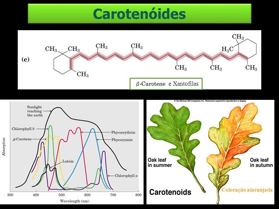 e Xantofilas Coloração alaranjada Carotenóides