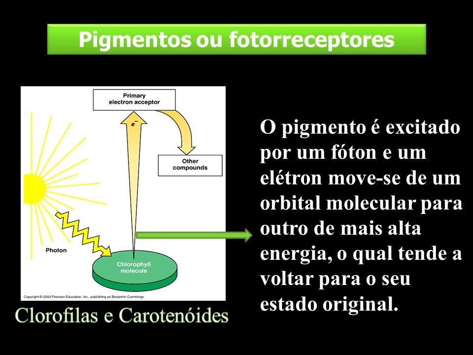 Pigmentos ou fotorreceptores O pigmento é excitado por um fóton e um elétron move-se de um orbital molecular para outro de mais alta energia, o qual t