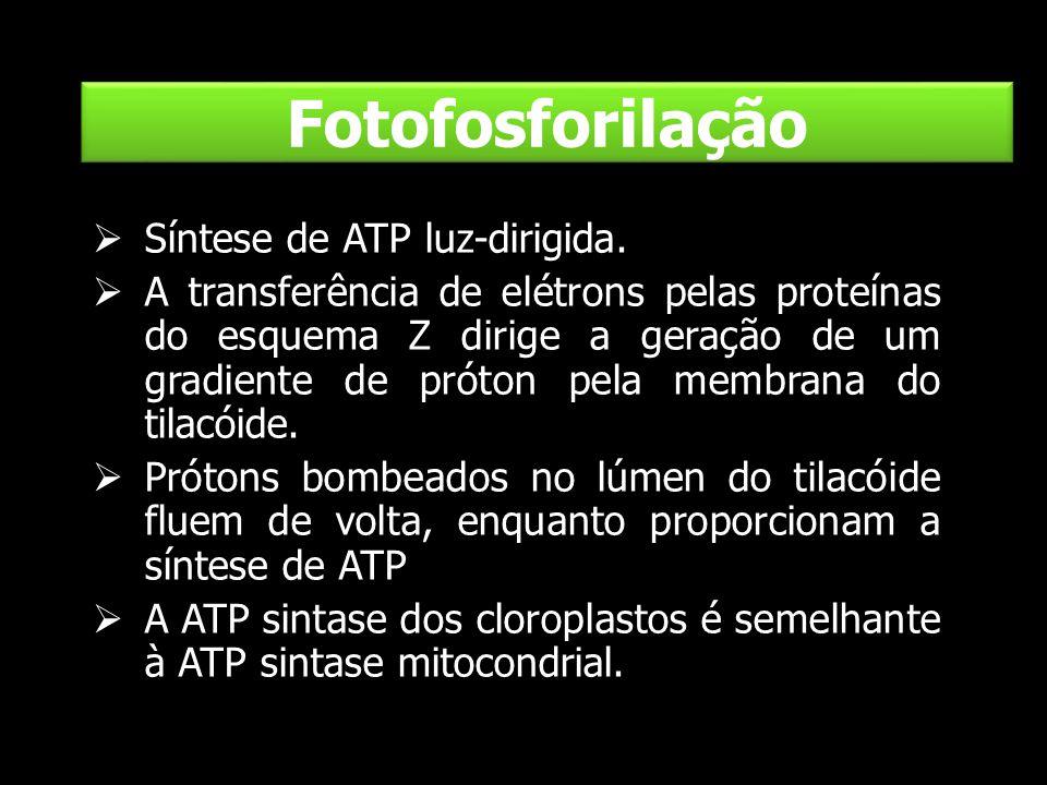 Fotofosforilação Síntese de ATP luz-dirigida. A transferência de elétrons pelas proteínas do esquema Z dirige a geração de um gradiente de próton pela