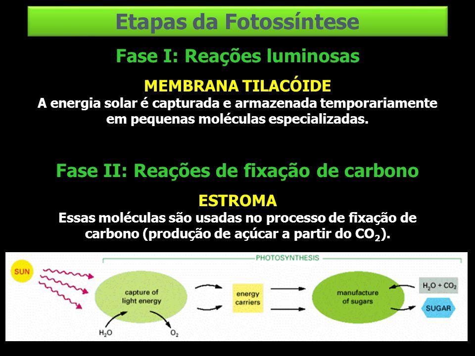 Fase I: Reações luminosas MEMBRANA TILACÓIDE A energia solar é capturada e armazenada temporariamente em pequenas moléculas especializadas. Fase II: R
