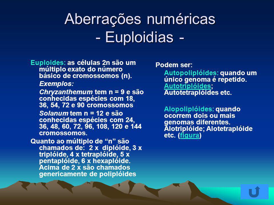 Aberrações numéricas - Euploidias - Euploides: as células 2n são um múltiplo exato do número básico de cromossomos (n). Exemplos: Chryzanthemum tem n