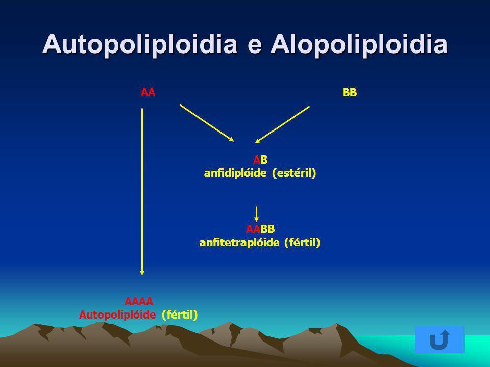 Autopoliploidia e Alopoliploidia AB anfidiplóide (estéril) AA BB AAAA Autopoliplóide (fértil) AABB anfitetraplóide (fértil)