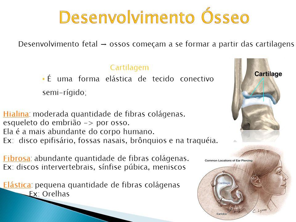 Desenvolvimento fetal ossos começam a se formar a partir das cartilagens Alguns ossos chatos desenvolvem-se a partir de membranas fibrosas, porém a ma