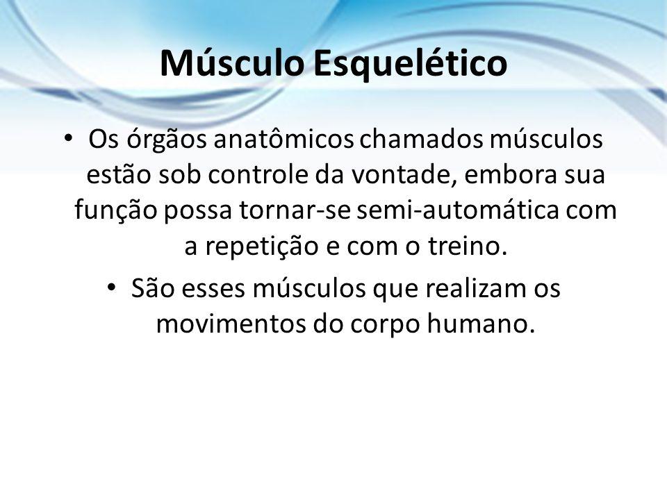 Músculo Esquelético Os órgãos anatômicos chamados músculos estão sob controle da vontade, embora sua função possa tornar-se semi-automática com a repe