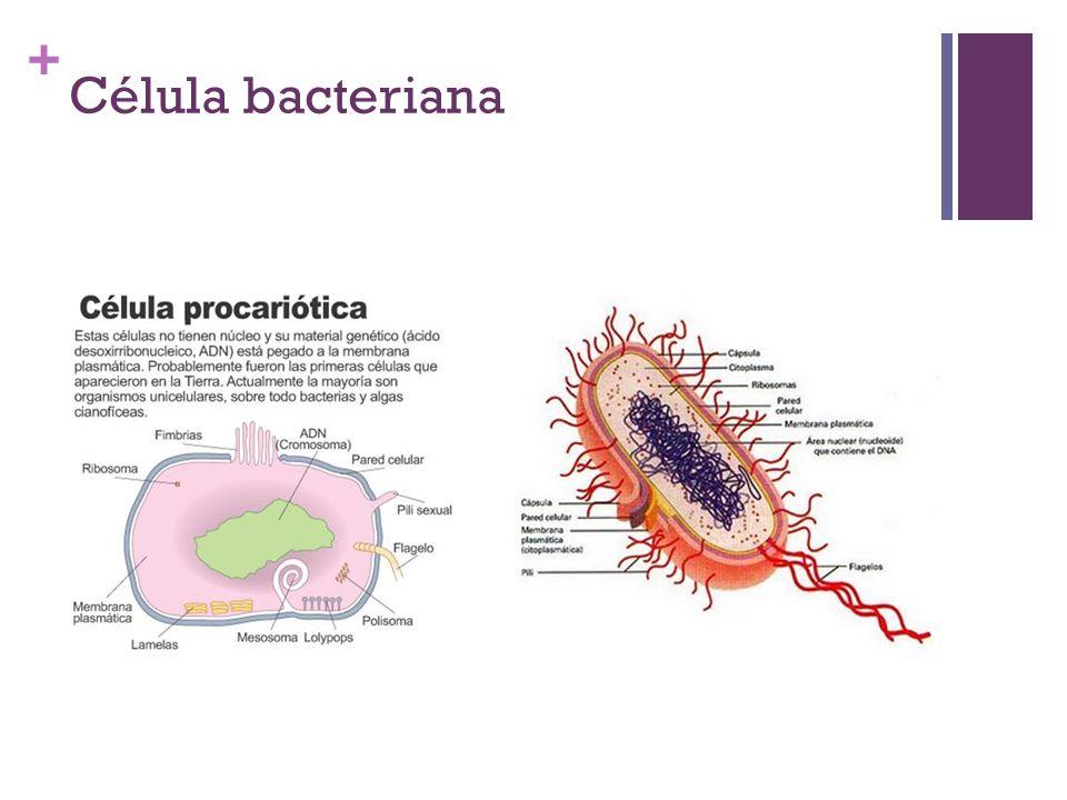 + Célula bacteriana