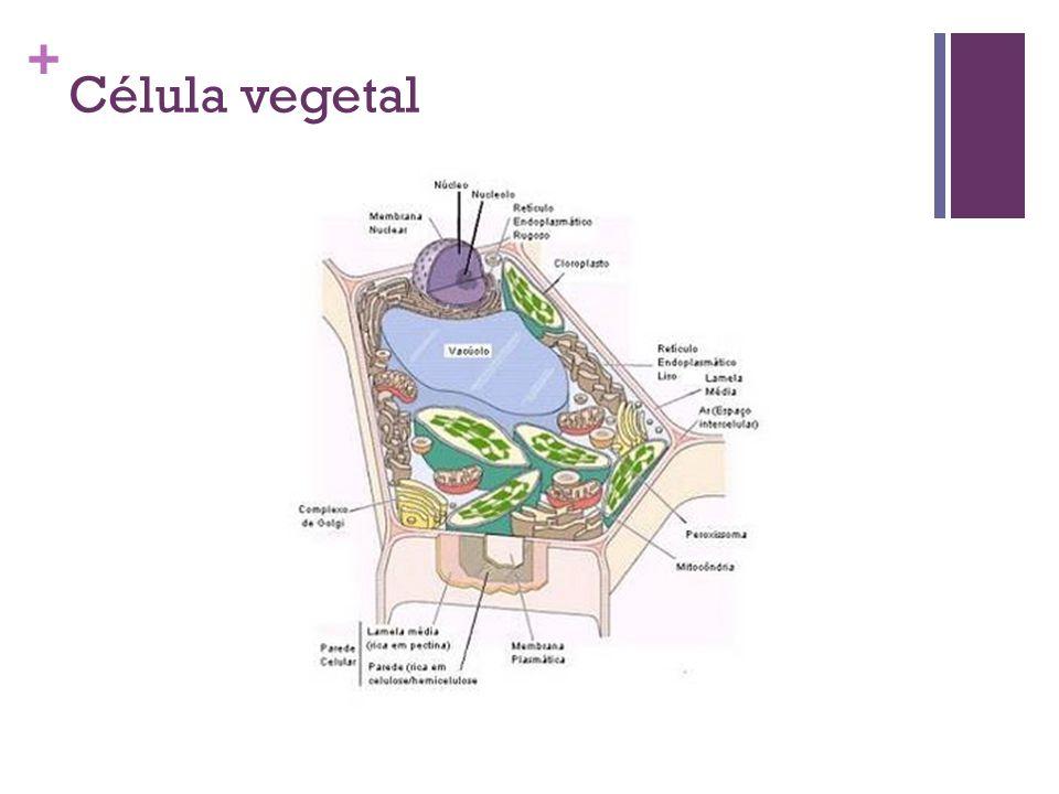 + Célula vegetal