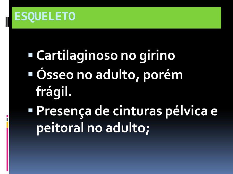 ESQUELETO Cartilaginoso no girino Ósseo no adulto, porém frágil. Presença de cinturas pélvica e peitoral no adulto;