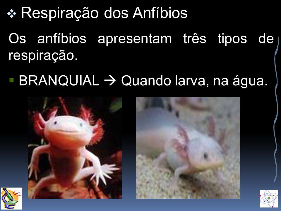 Respiração dos Anfíbios Os anfíbios apresentam três tipos de respiração. BRANQUIAL Quando larva, na água.