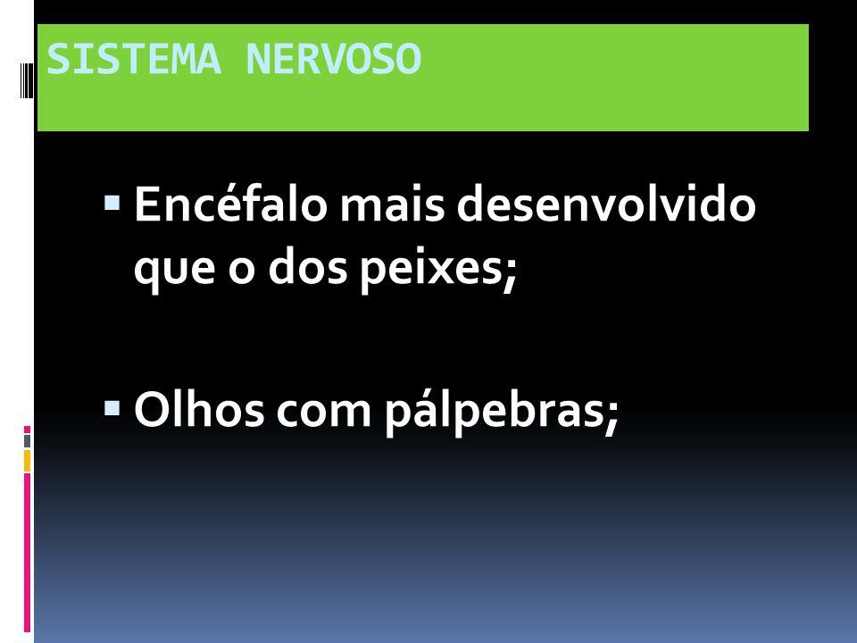 SISTEMA NERVOSO Encéfalo mais desenvolvido que o dos peixes; Olhos com pálpebras;